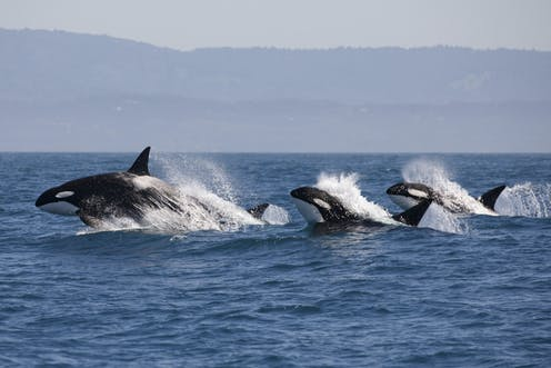 Killer whales: why more than half world's orcas are