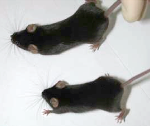 a research on mouse The laboratory mouse - a life for research in the early 20th century, researchers mainly used mice to study cancer they found that they could only transmit cancer to mice that had a specific mutation but not to animals lacking the mutation the offspring had the characteristics of their parents, meaning that their susceptibility.