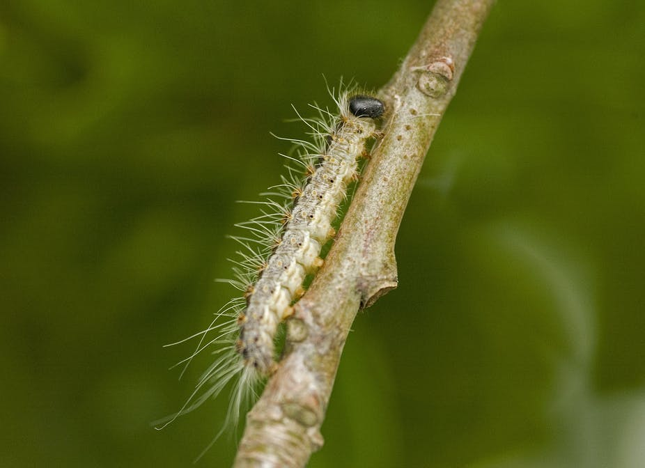 How to kill a very hungry caterpillar (and its invasive friends)