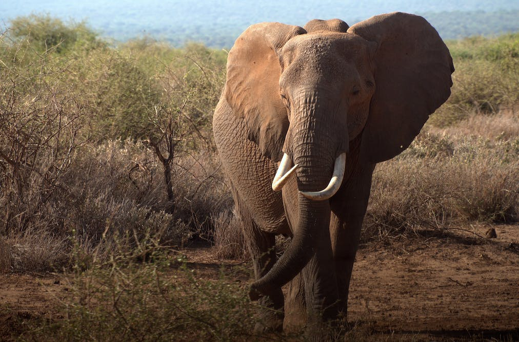 173e41552cf7 Where is all the ivory from  Using forensic science and elephant DNA ...