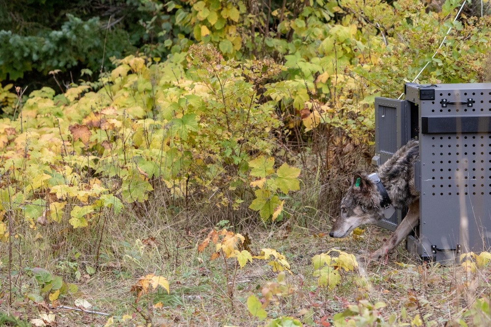 Restocking wolves on Isle Royale raises questions about which species get rescued