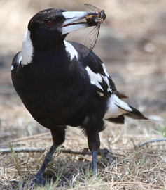 Why is a magpie's poo black and white?