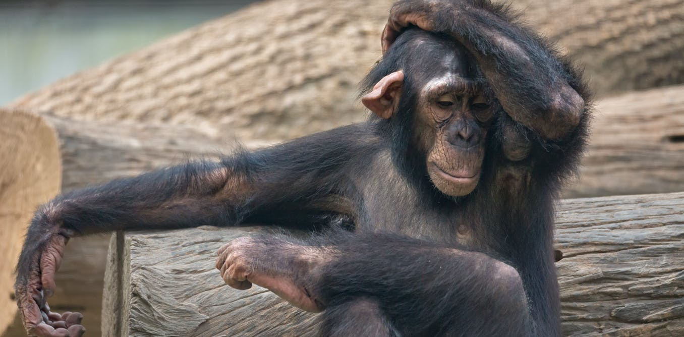 Chimps like to copy human visitors to the zoo – Ig Nobel Prize