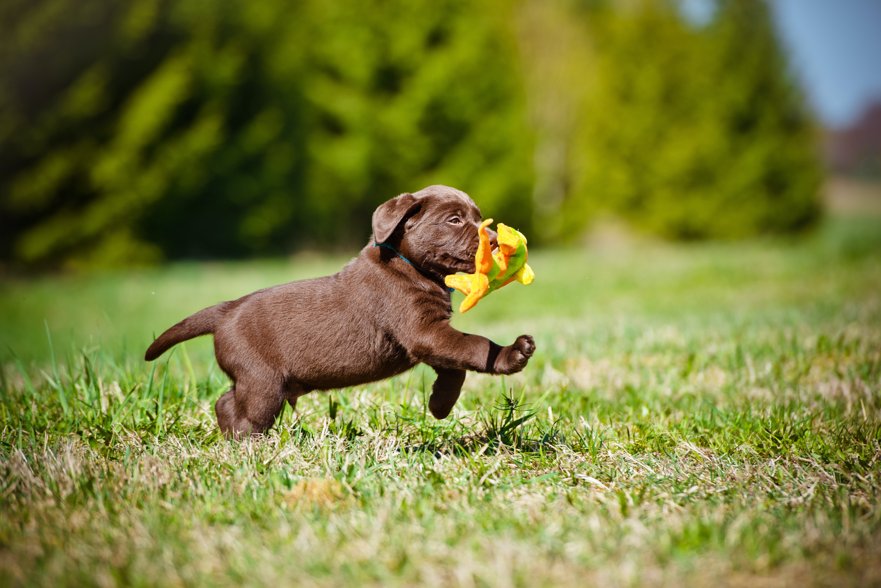 Chocolate Labradors die earlier than yellow or black, and have more disease