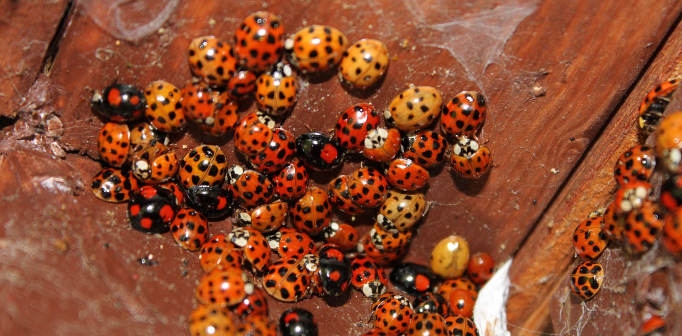 Mythbusting the story of the STI-carrying cannibal ladybirds