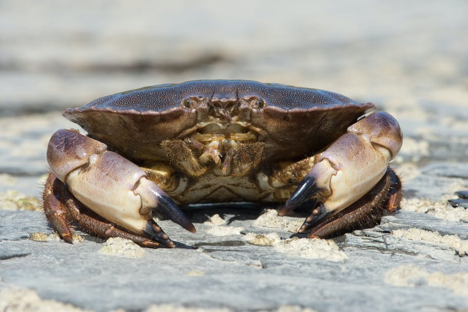 Edible crabs won't cope with the effects of climate change ...