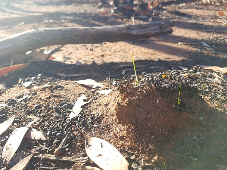 Spinifex grass would like us to stop putting out bushfires, please