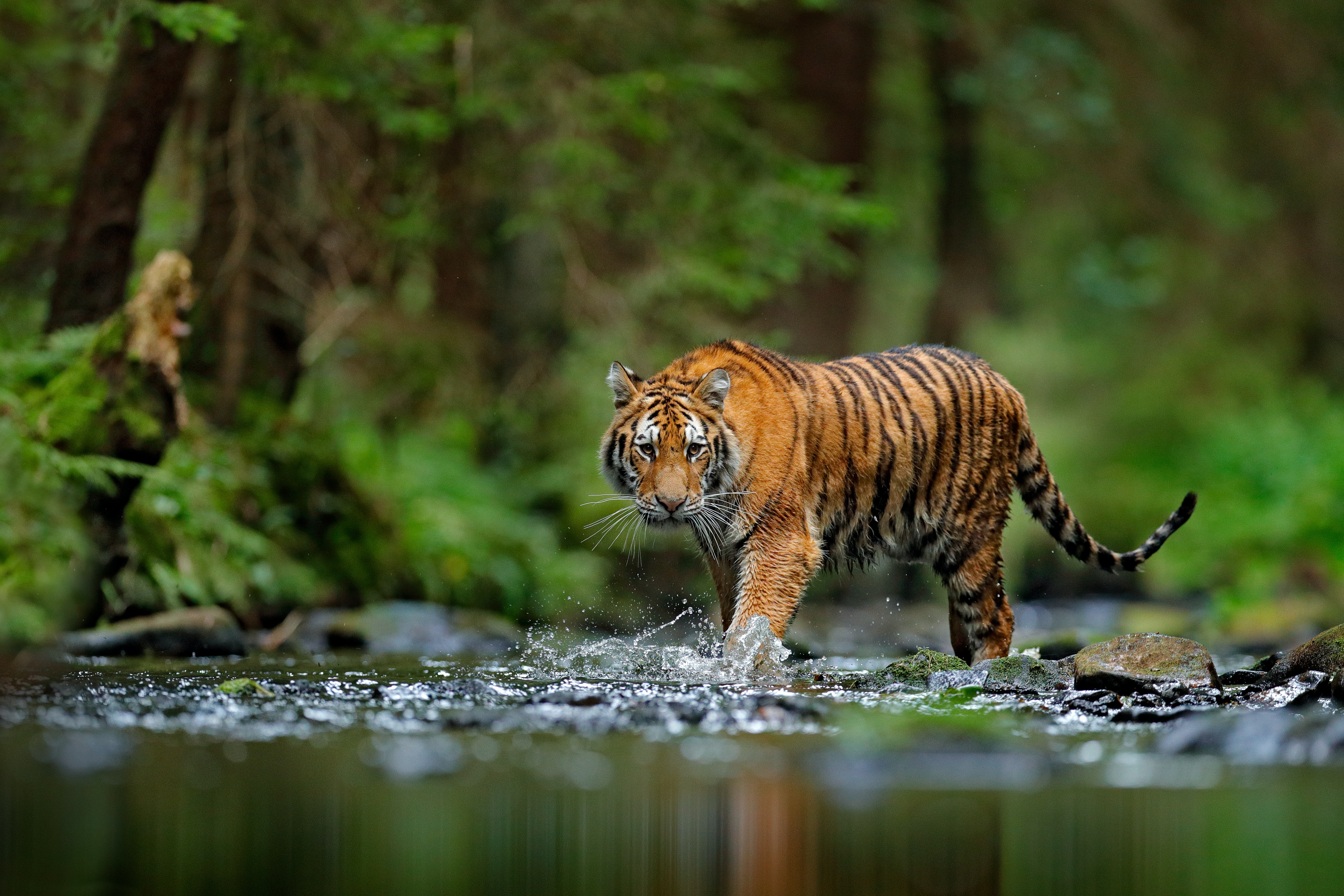 Big Deal Auto >> Tigers confirmed as six subspecies, and that is a big deal for conservation