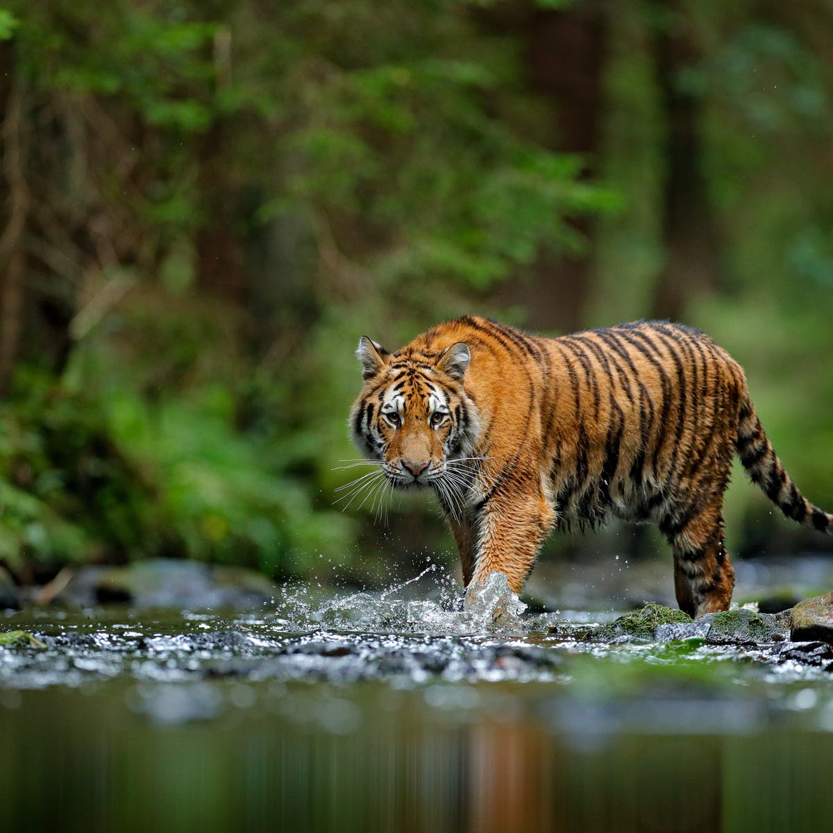 Tigers confirmed as six subspecies, and that is a big deal for conservation