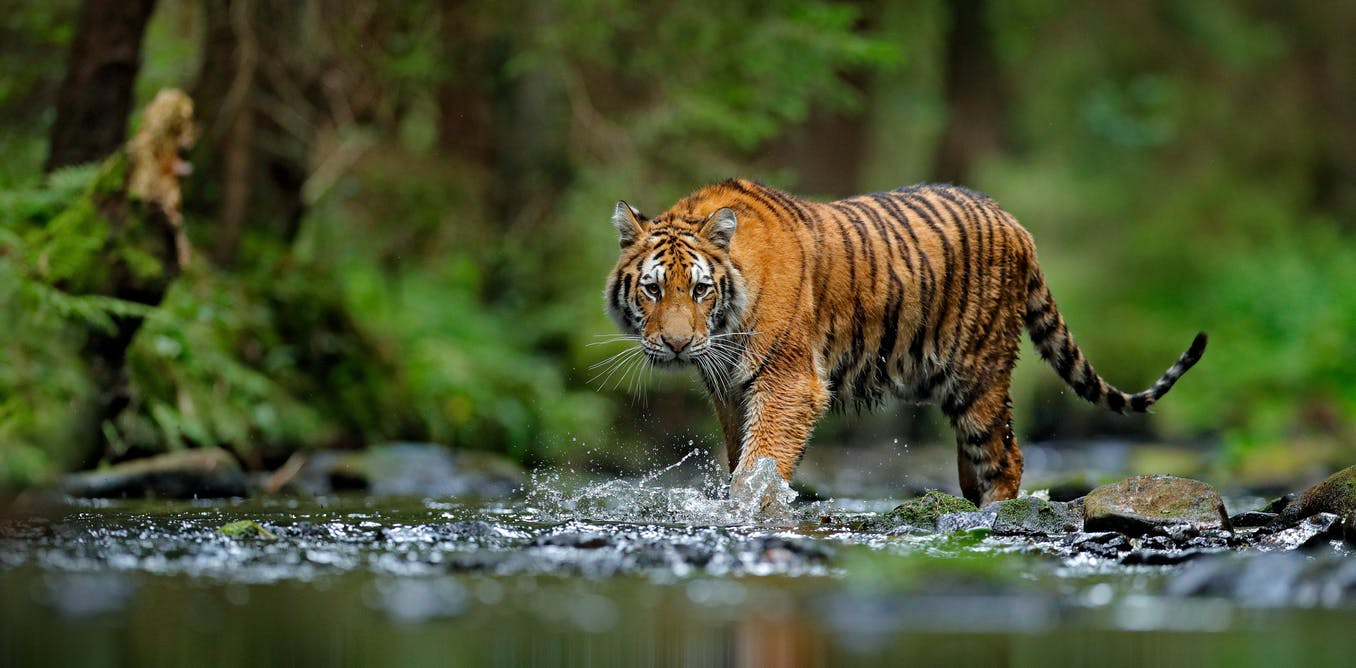 Tigers confirmed as six subspecies, and that is a big deal ...