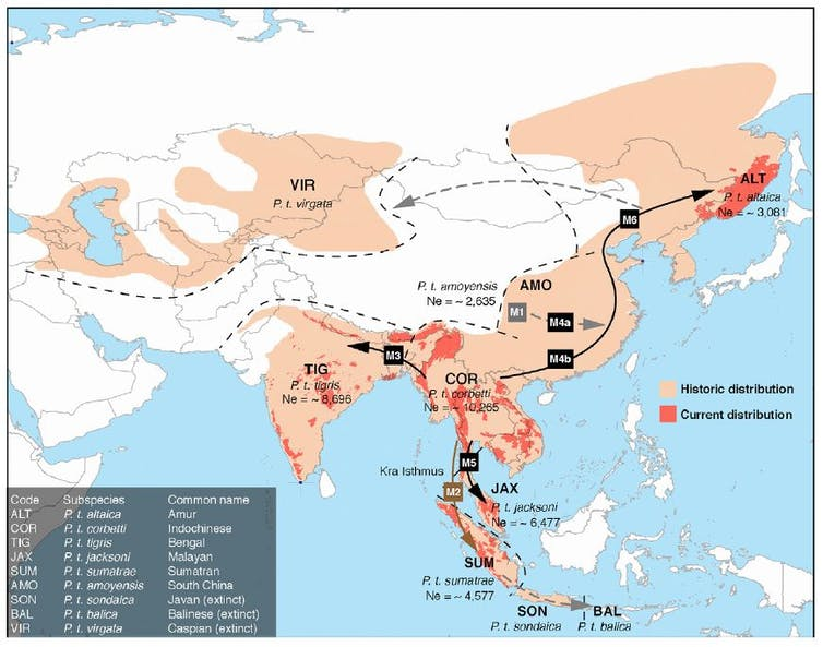 Map showing dispersal routes and range expansions of modern tigers. Credit: Liu et al. / Current Biology, CC BY-SA