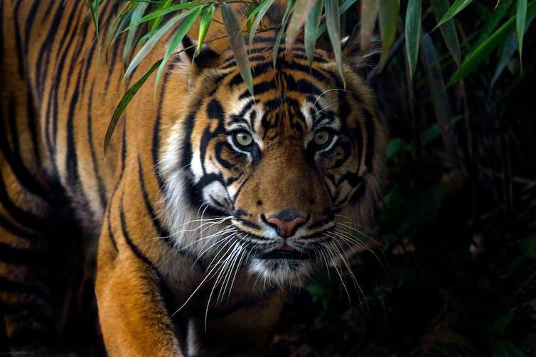 tiger - photo #18