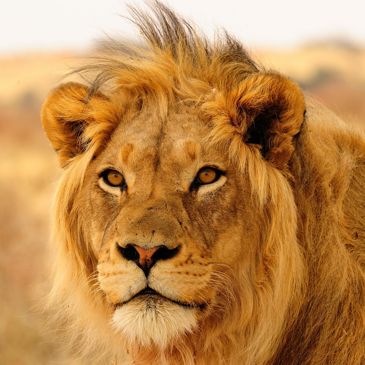 How We Arrived At A 1 Billion Annual Price Tag To Save Africa S Lions