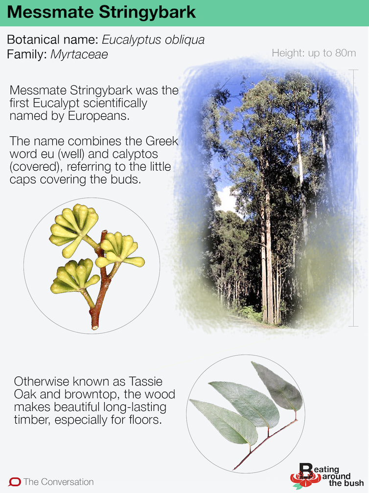 Stringybark is tough as boots (and gave us the word 'Eucalyptus')