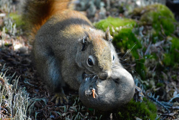 A red squirrel mother carries a 25-day old pup to a new nest.