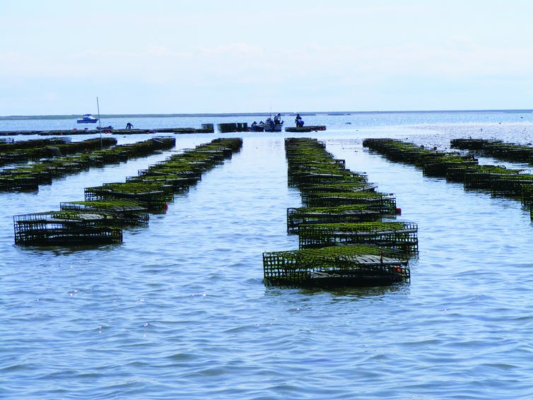 Oysters are grown in cages at Island Creek Oyster Farm in Duxbury, Mass.