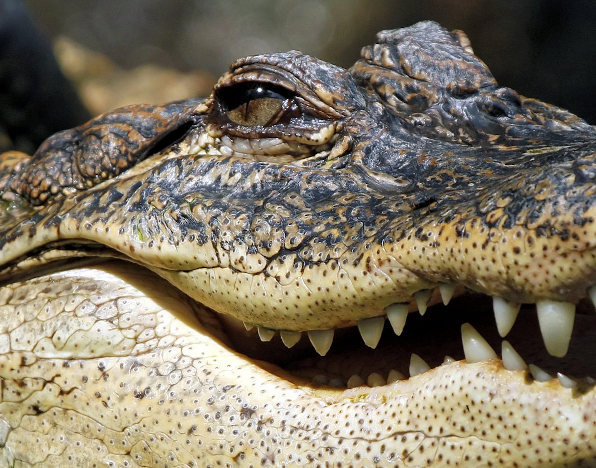 zombie drug krokodil
