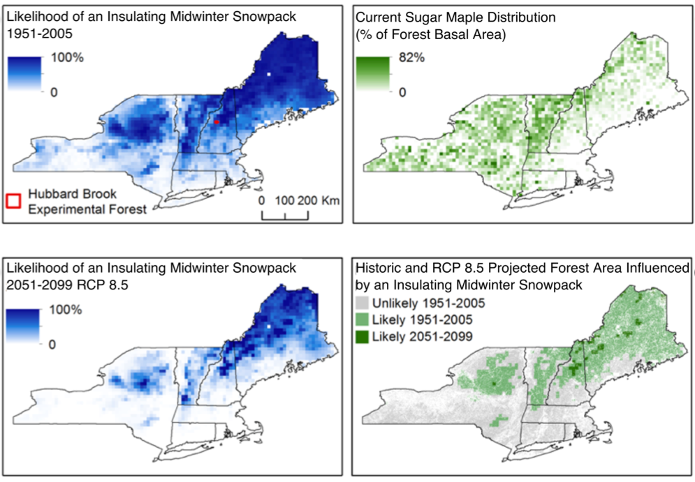 4 panel graphic of 4 maps illustrating historical and projected changes in spatial extent of insulating winter snowpack in the northeastern U.S., and the distribution of sugar maple trees and forest area influenced by insulating winter snowpack.