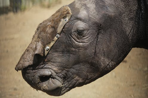 21255cbfe2d6 China s legalisation of rhino horn trade  disaster or opportunity