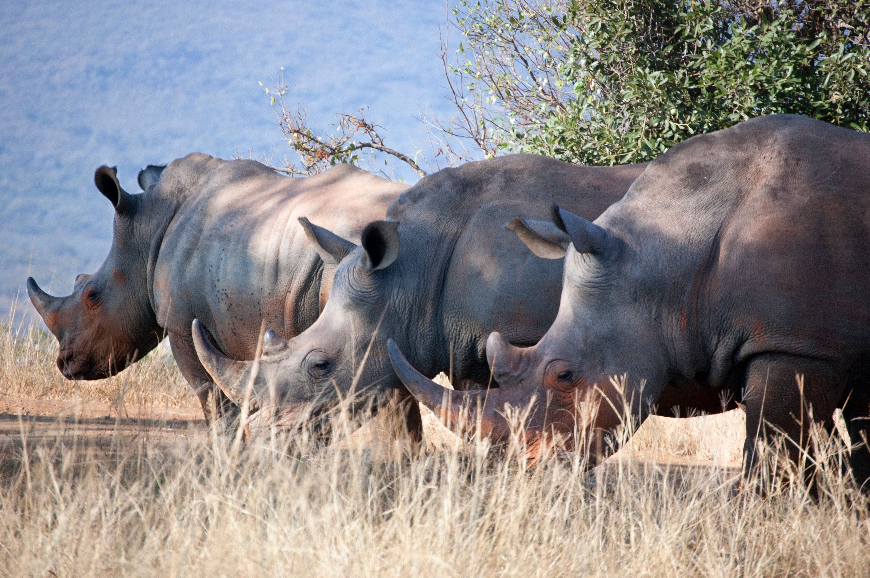China rhino horn trade legalization