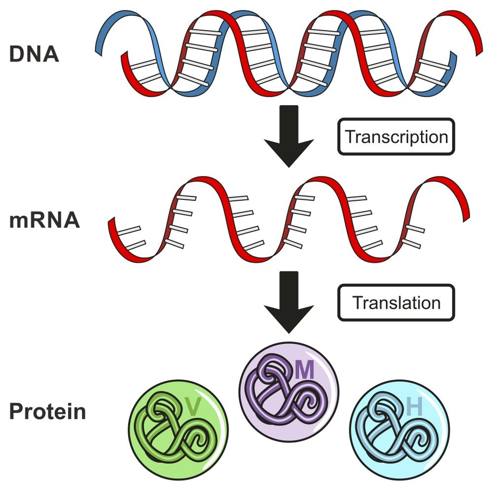 DNA is transcribed into a molecule called messenger RNA (mRNA) that is then  translated into a protein. udaix Shutterstock.com 2f466a4e5df