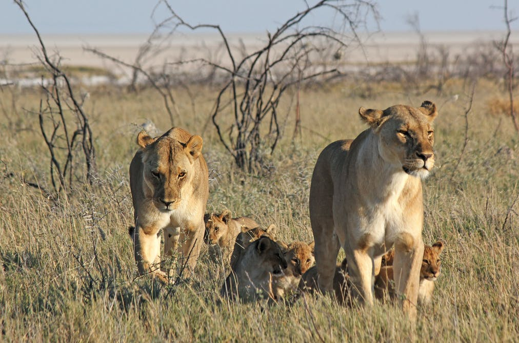 Dynasties: should nature documentary crews save the animals