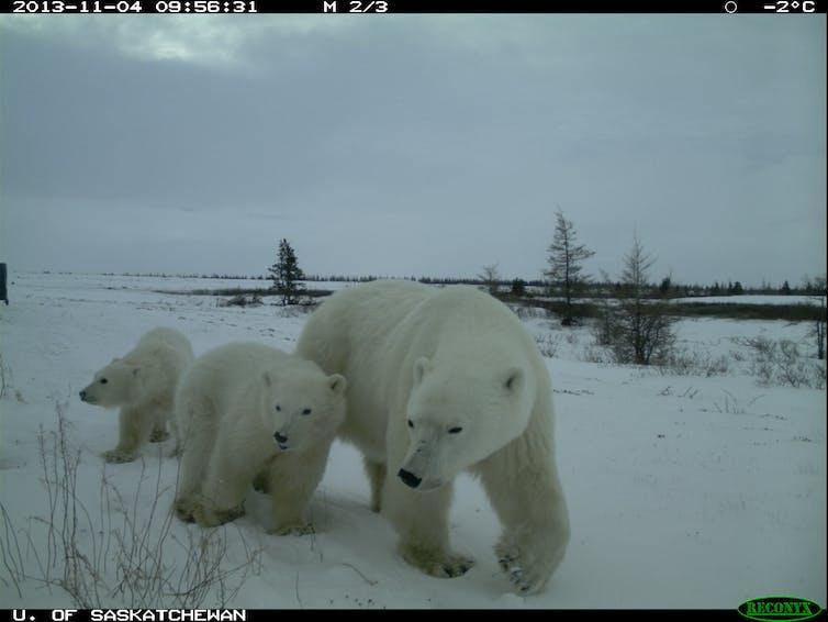 polar bears Wapusk National Park