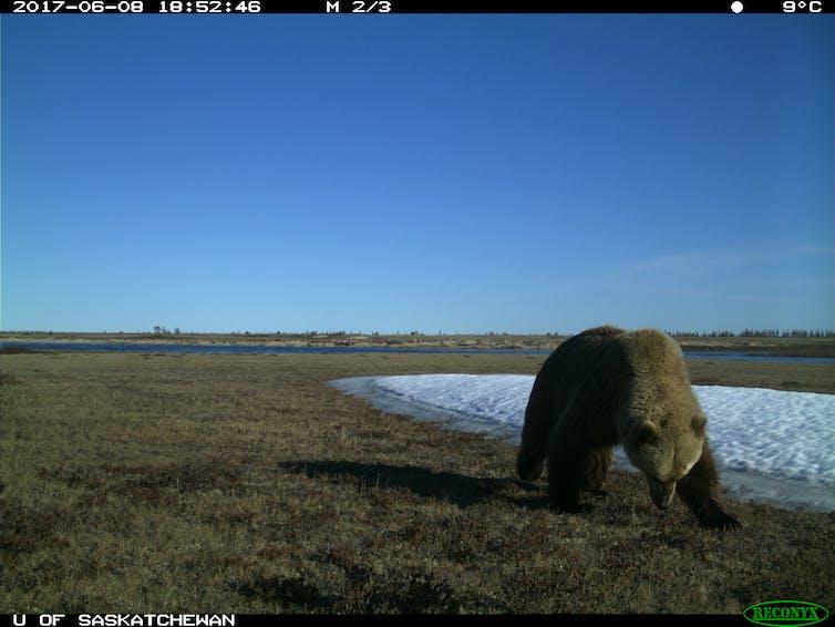 Grizzly bears Wapusk National Park.