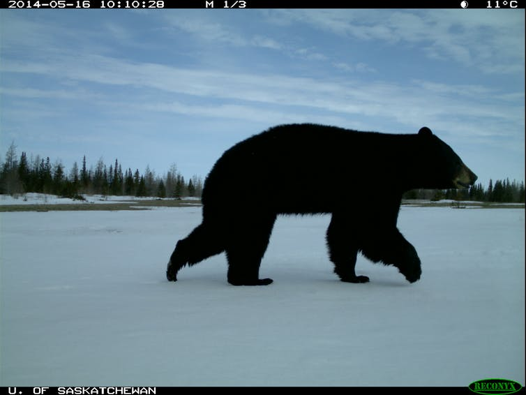 Black bears boreal forest Wapusk National Park.