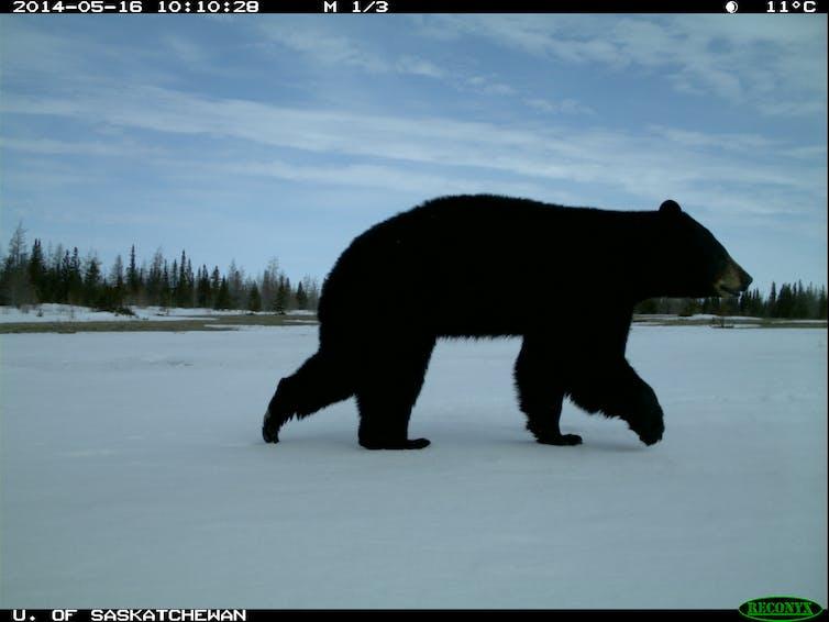 Black bears boreal forest Wapusk National Park.