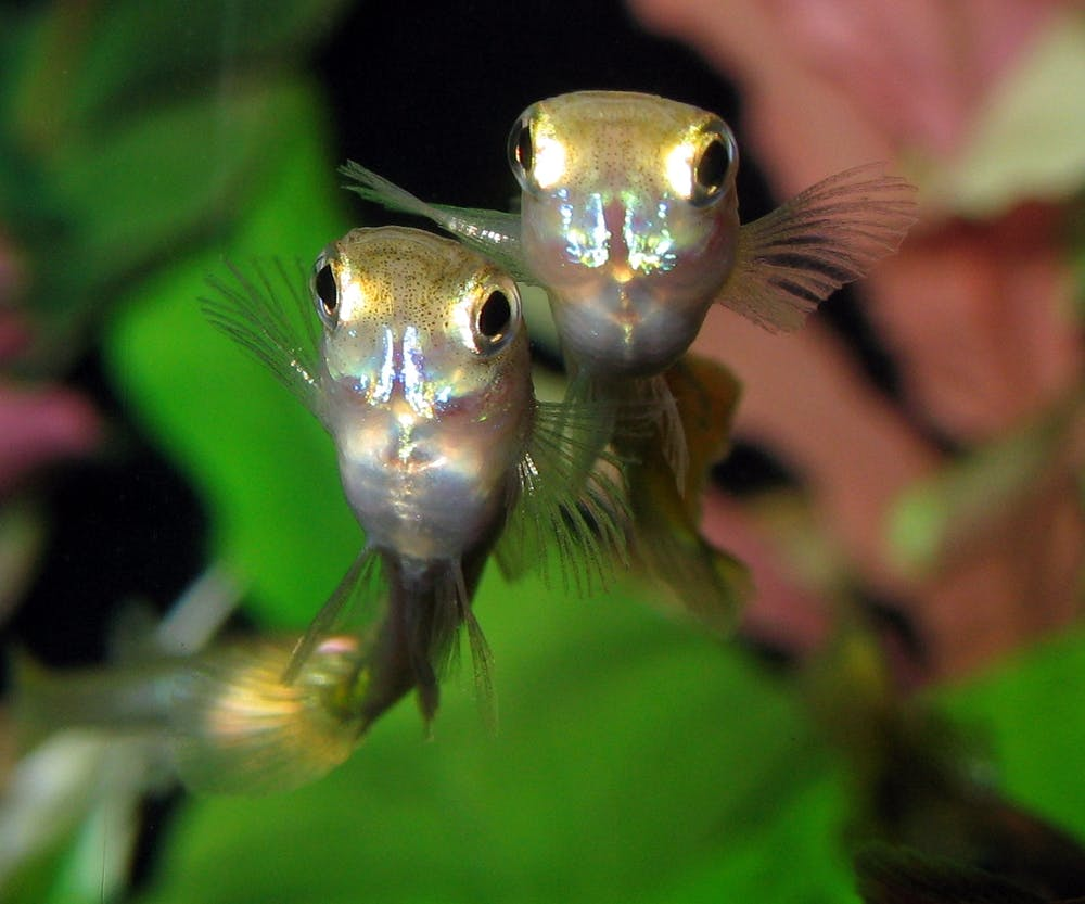 Guppies and sexual conflict? It's a genital arms race