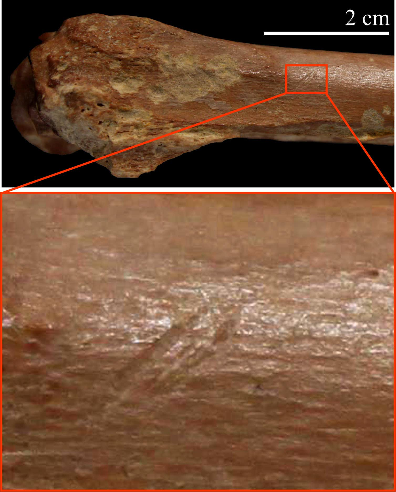 A small bovid bone with stone tool cutmarks. Photo credit: Isabel Caceres