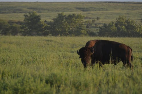 Bison are back, and that benefits many other species on the