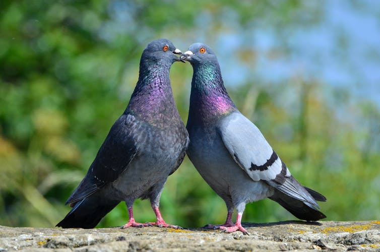 We Ve Saved Pink Pigeons From Extinction Now Let S Be Kinder To Their Grey Cousins