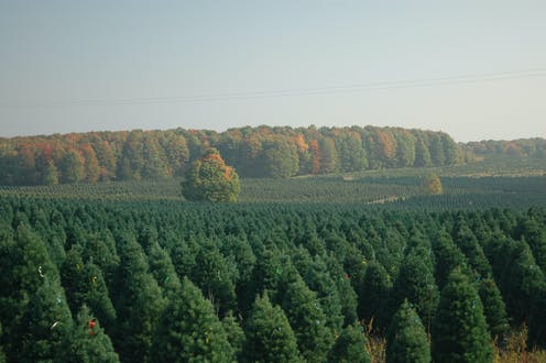which state grows the most christmas trees
