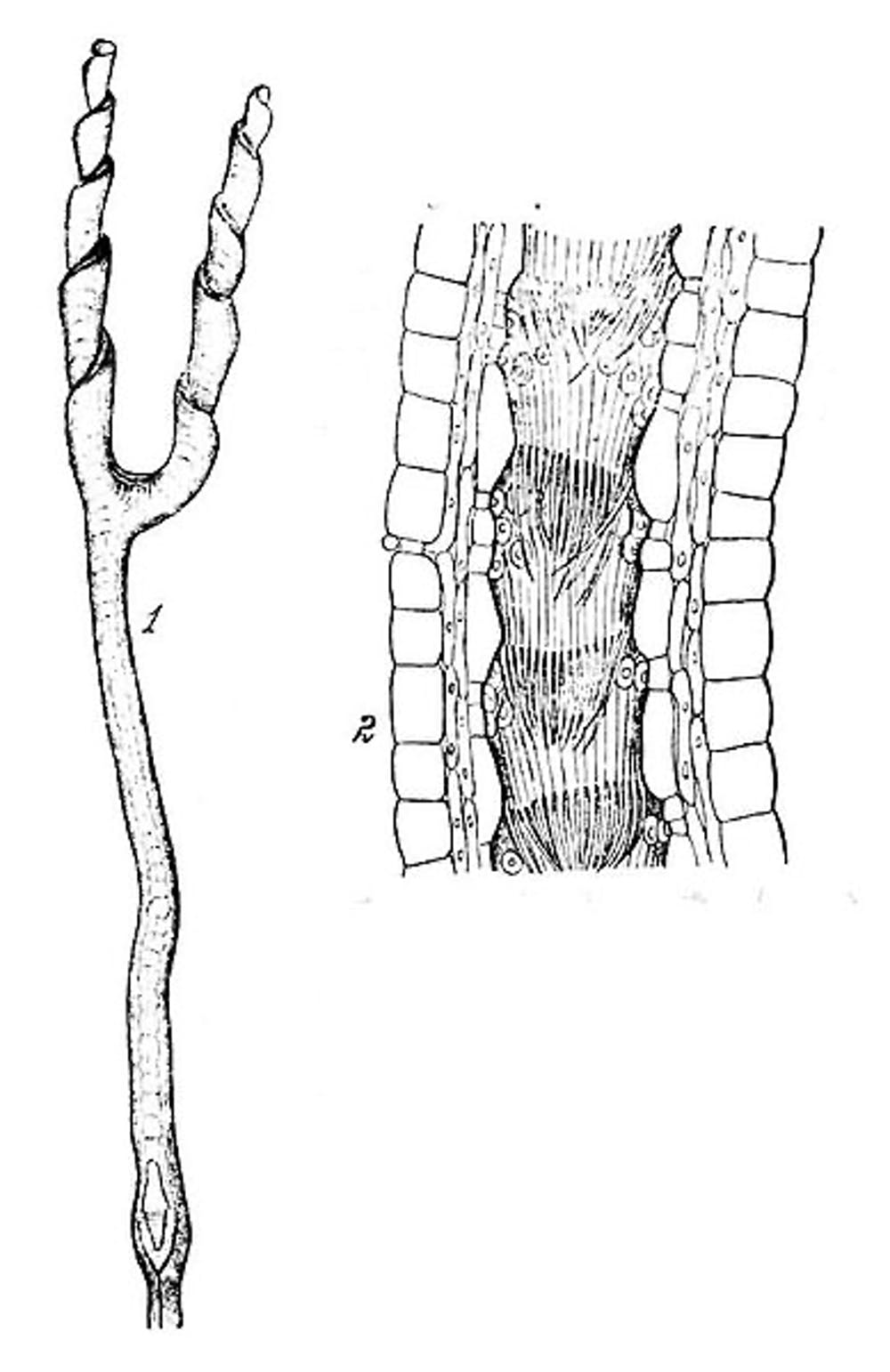 Left: the twisted, bifurcated tube-leaf of Genisea aurea. Right: cross- section showing hairs that guide prey further into the trap. Wikimedia  Commons