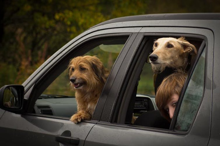 Two dogs with their heads poking out of car windows