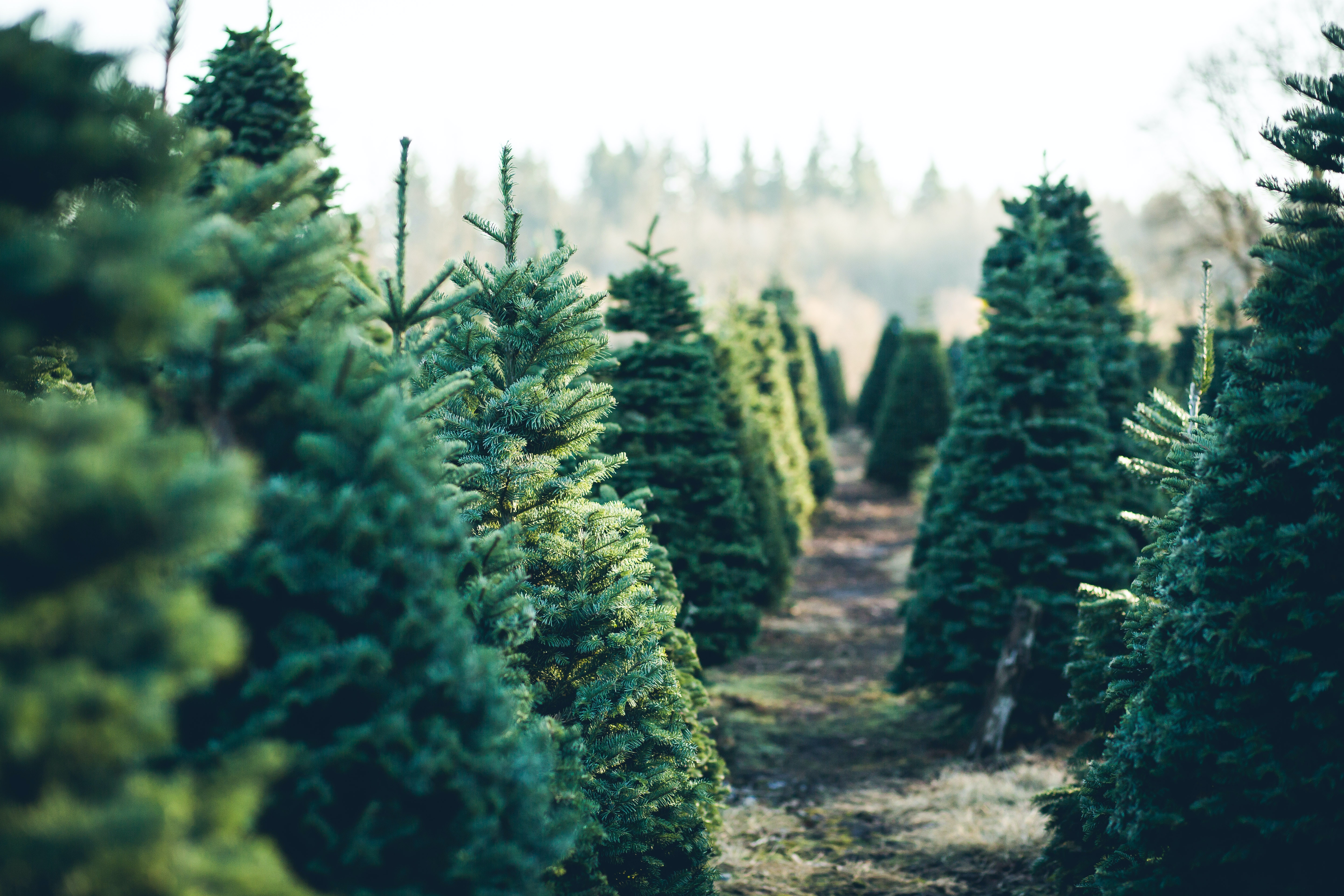 New recycling process could help your Christmas tree lead a surprising second life