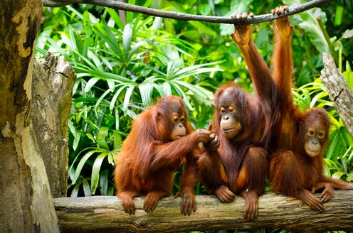 New Research Finds Animals May Help >> Orangutans Can Communicate About The Past Just Like Humans New