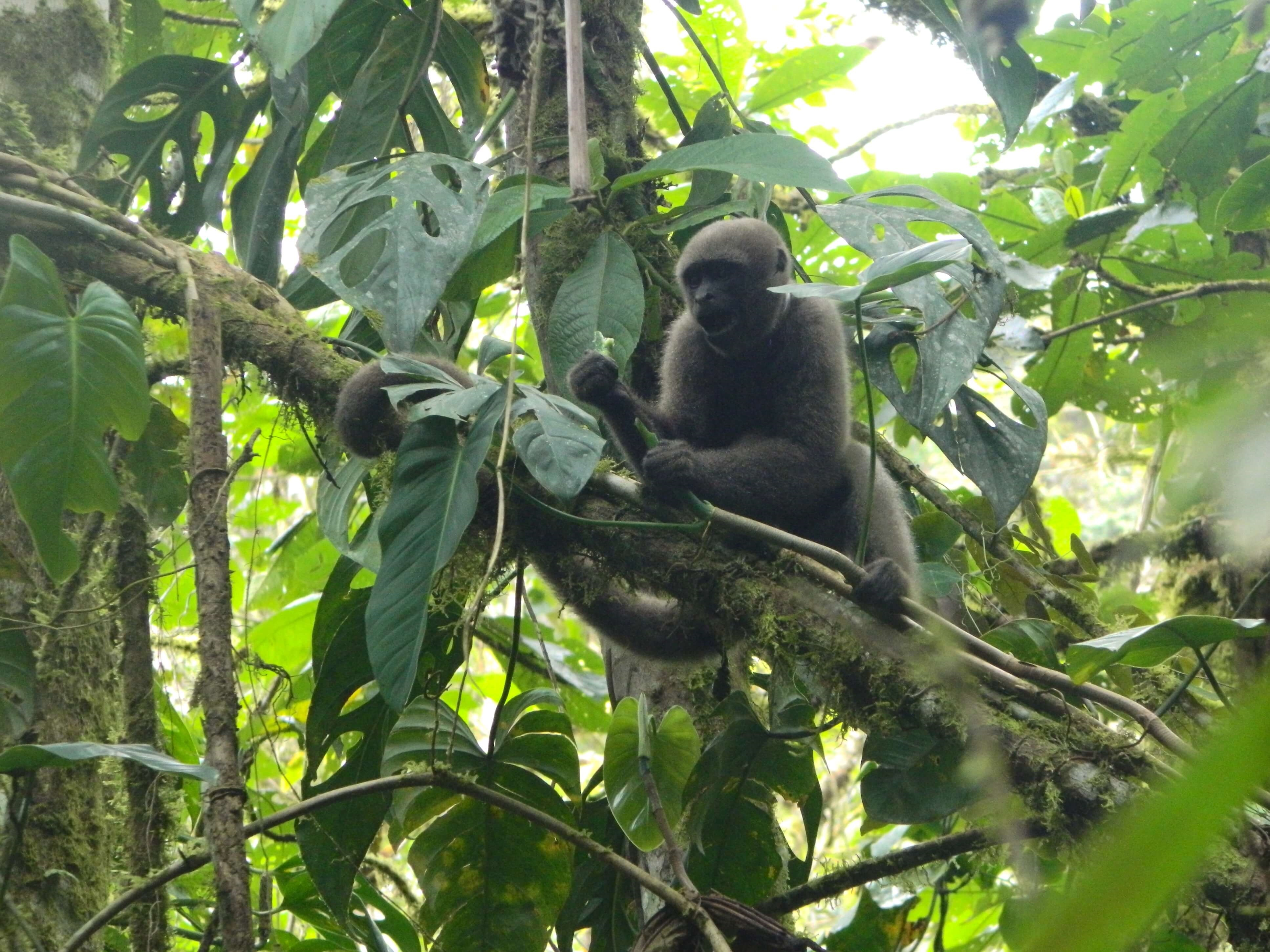 We train Colombian woolly monkeys to be wild again – and maybe save them from extinction