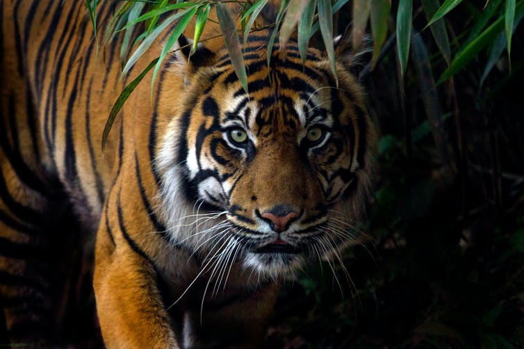 The Sumatran tiger is one of the orangutan's forest predators.  Shutterstock