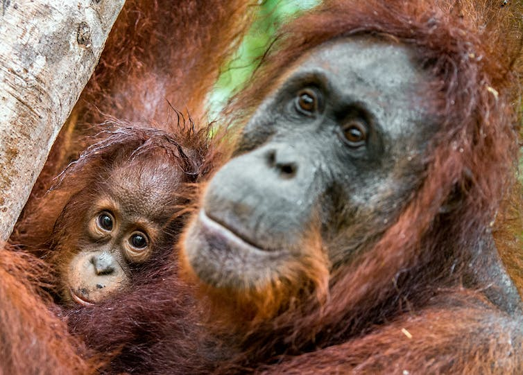 Orangutan offspring stay with their mothers as long as human children do.  Shutterstock