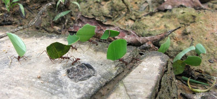 Several leafcutter ants carrying pieces of green leaves.