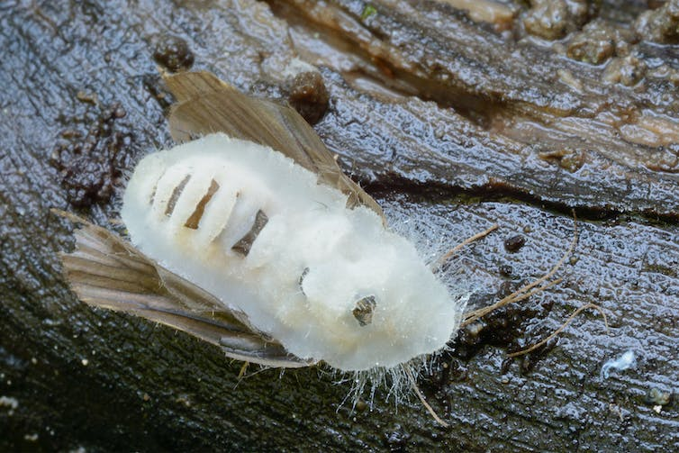 A moth covered in white fungus.