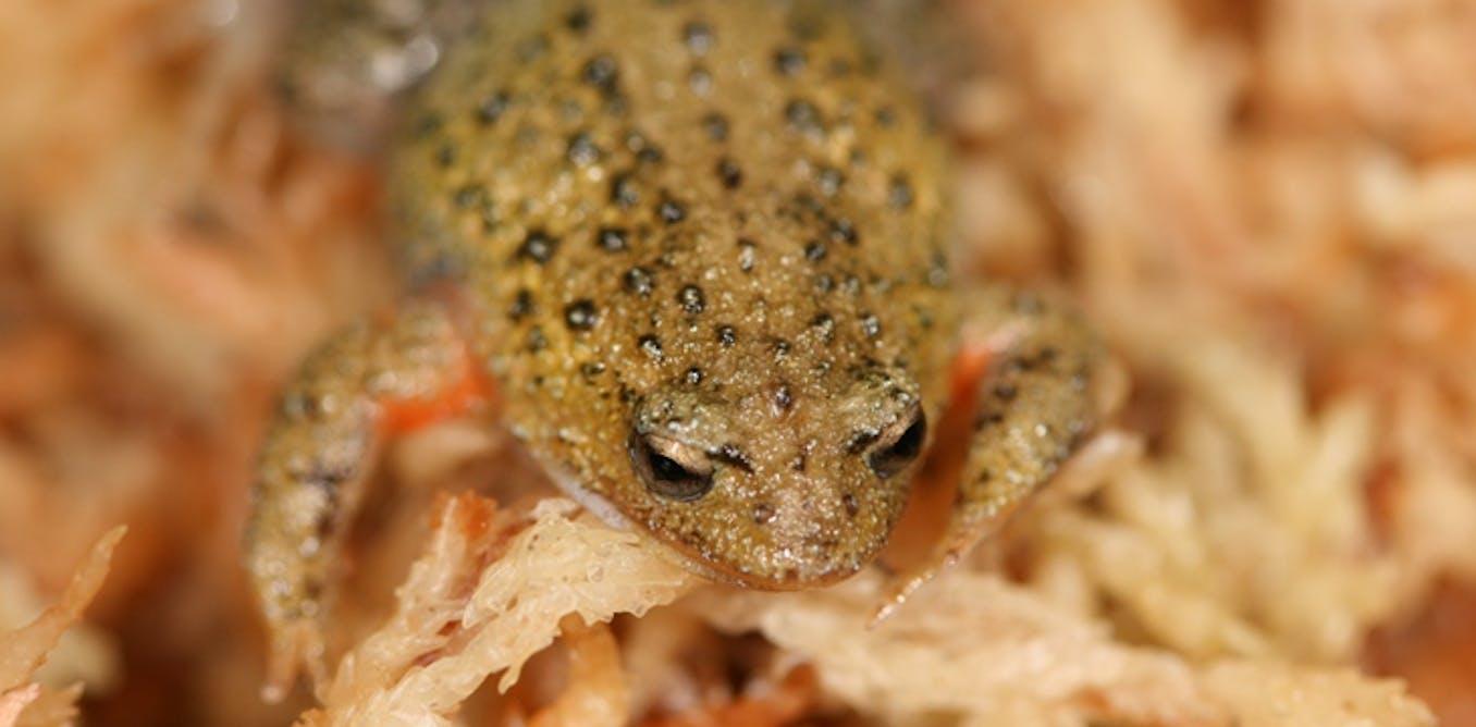Australian endangered species: White-bellied Frog