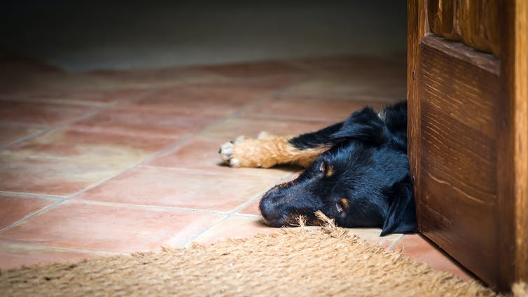 A black dog lying down on indoor tiles