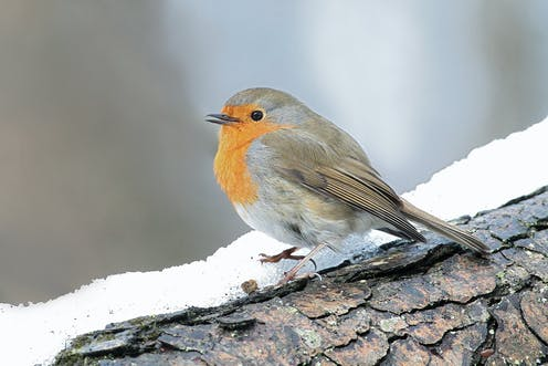 Robin hushed: wind turbines are making songbirds change