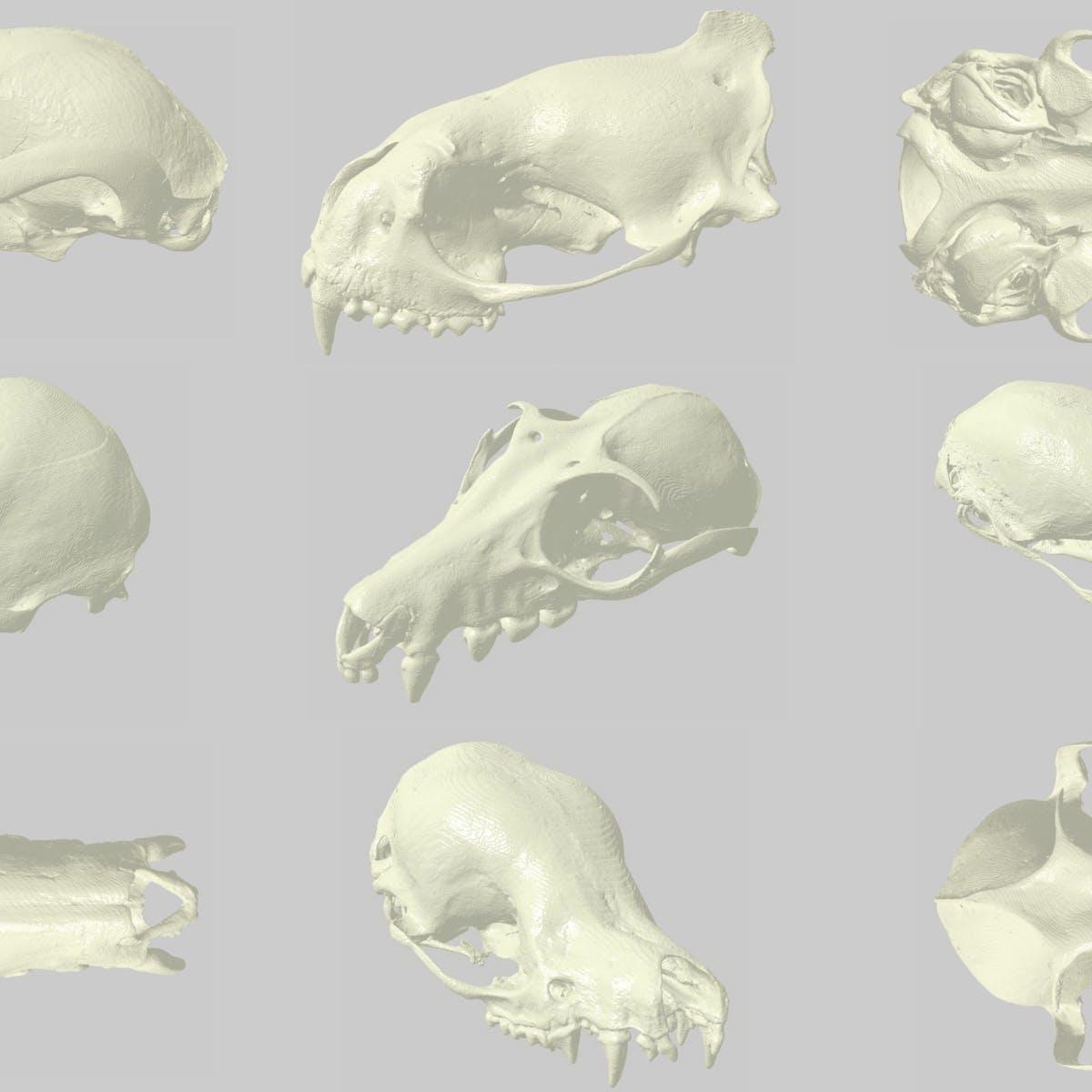 3D scans of bat skulls help natural history museums open up