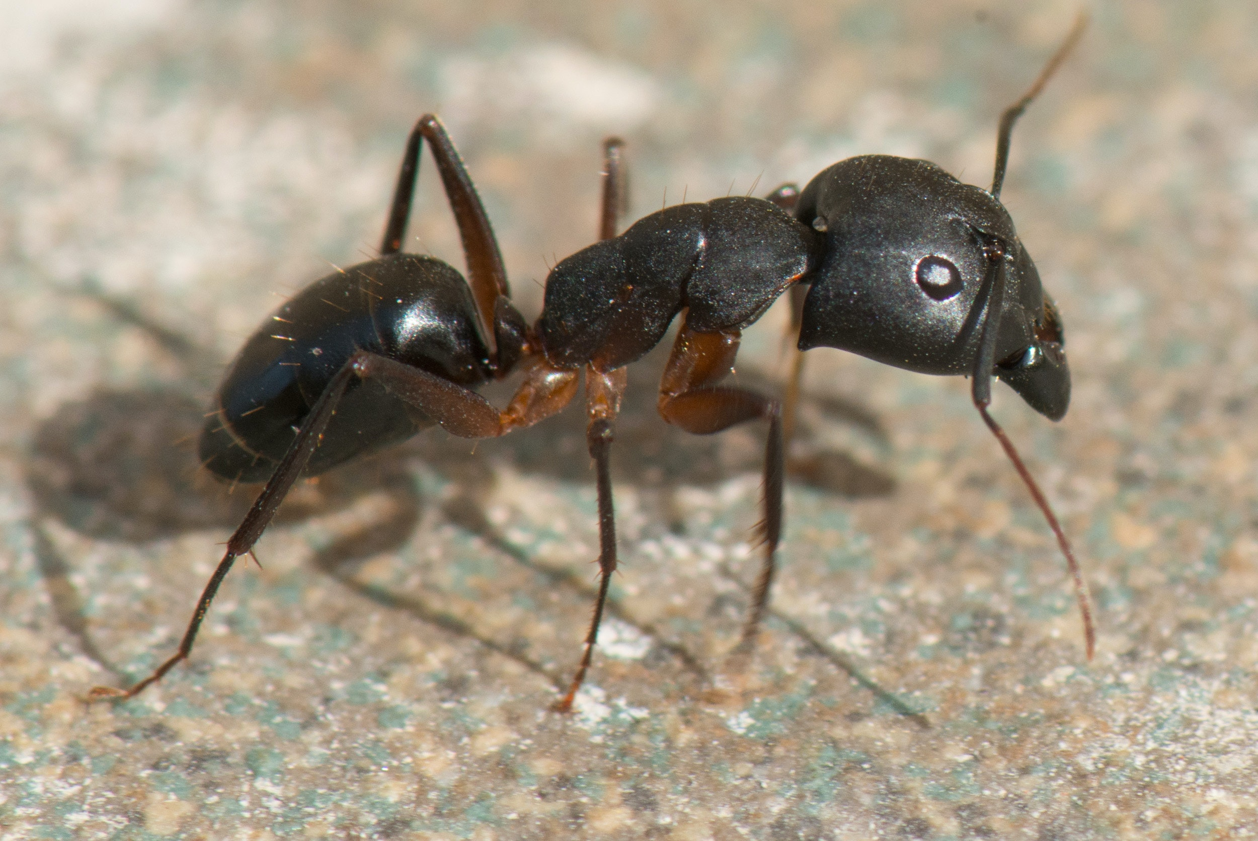 Curious Kids: do ants have blood?