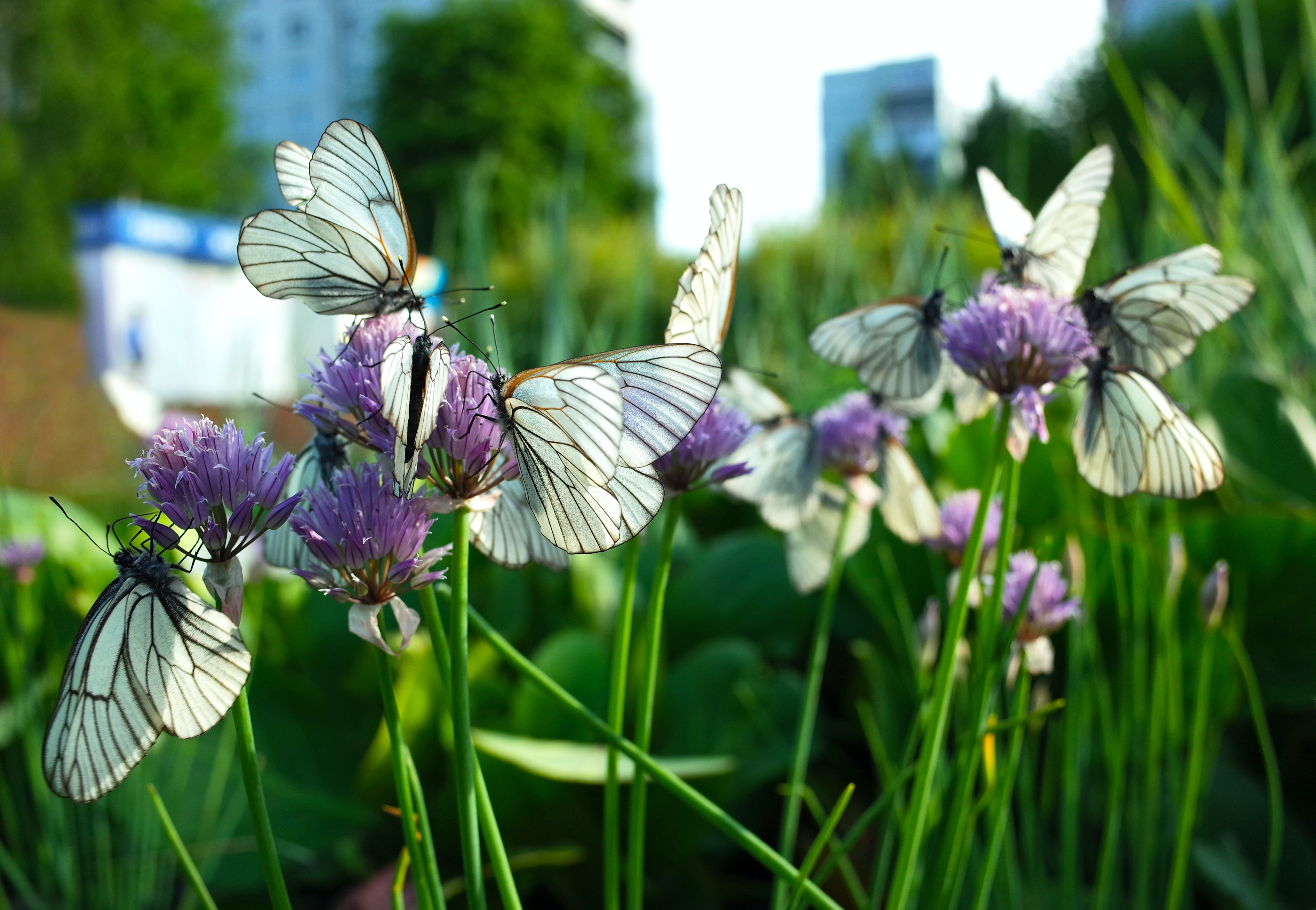 Bees and butterflies are under threat from urbanisation – here's how city-dwellers can help